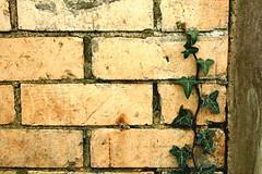 Creeping Ivy (~NicolaSmith~) Tags: wood old uk england brown green wall leaf rust bricks ivy trail devon flickrverse ivyinvasion creepingivy youngphotographers elmural teenagephotogprahers