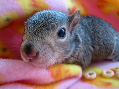 I'm Looking At You! (audreyjm529) Tags: baby macro animal canon squirrel gray lovelovelove rehabilitation animaladdiction goldsealofqualityaward