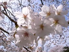 "25Cherry blossom (""KIUKO"") Tags: park  cherryblossom grdigital ricoh"