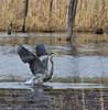 H E R O N (Luc Deveault) Tags: wild canada bird heron animal pond eau quebec action reflet québec luc takeoff oiseau étang héron sauvage flyning photoquebec deveault encvol lucdeveault