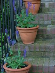 Salvia on the Steps (fiberartsfanatic) Tags: plant brick garden iron purple steps pots salvia banister containergardening