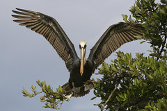 Balancing on the branch (hoffnungwell) Tags: bird nature mexico pelican puntaallen