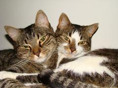 Los hermanos sean unidos... (Fotos Bachi / Analía Cutri) Tags: pet cat gatos animales mascotas sonyh9