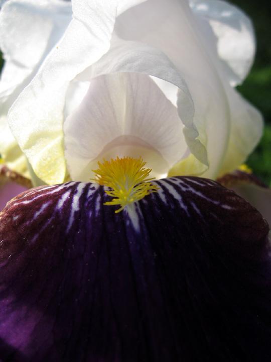 Iris, June 6