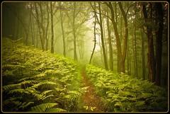 Pfad im Wald - path through the forest