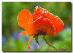 Poppy Love (Marina Castillo) Tags: flowers summer flores color macro love closeup spring spirit amor foliage angels soul micro spiritual closeups healing purpose healers oprahwinfrey anawesomeshot ysplix latinastpaul marinacastillo