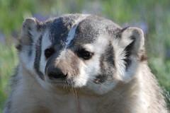 Mugshot II (ChicagoBob46) Tags: badger yellowstonenationalpark yellowstone naturesfinest mywinners yellowstonewildlife gemsofnature worldclassnaturephotos amazingwildlifephotography