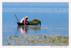 Tranquil Life (Araleya) Tags: life nepal people woman lake reflection work boats lumix living colorful asia ducks lifestyle peaceful tranquility panasonic memory nepalese dailylife graceful pokhara nepali southasia fz50 morninglife womanatwork waterweed lifeislike fewalake beautfiul araleya saarc littleducks calmful nepaliwoman  himalayaregion aquatuc