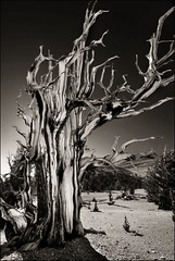 twisted and nearly petrified (jody9) Tags: california tree bravo ancientbristleconepineforest