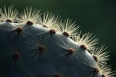 Cactus (LieselRose) Tags: nature ecuador wildlife galapagos galapagosislands flickrchallengegroup flickrchallengewinner mvevolution internationalexpeditions lieselrose