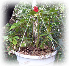 Double Impatiens Small