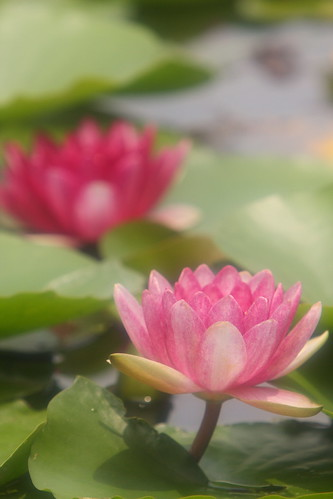 """water lily"" in 見沼自然公園"