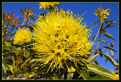 Xanthostemon chrysanthus - Golden Penda,Yellow Penda (Black Diamond Images) Tags: flower rainforest native queensland nativeplants floweringtrees myrtaceae northqueensland australiannativeplant australianflora goldenpenda australiannativeflowers xanthostemonchrysanthus australianflowers australiannativeplants xanthostemon australianplants rainforestplants rainforestplant australianrainforest arfp australianrainforests blackdiamondimages australianrainforestplant australianrainforestplants australianrainforesttrees flowersrainforest floweraustralian yellowpenda qrfp australianrainforestflowers arfflowers yellowfp flowersaustralian