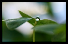 little drop... (Tish...) Tags: macro green water grey drop bubble clover booble xoxoxoxoxoxo tishlaetitia