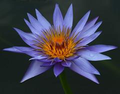 Water Lily #1 (philipbouchard) Tags: blue atlanta flower georgia waterlily lavender aquatic atlantabotanicalgarden nymphaea flowersarefabulous