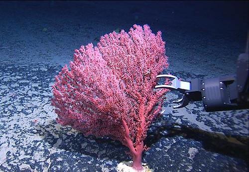 選擇性漁法之機器手臂正在採集珊瑚
