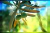 Aegean Pearl  -- Baby Olive (Kuzeytac) Tags: blue color colour macro tree green texture nature yellow turkey geotagged leaf bokeh türkiye turkiye aegean olive best makro geotag leyla bestofthebest assos doku ege yeşil lsi yaprak doğa tabiat çanakkale zeytin canoneos400d canoneosdigitalrebelxti ayvacık kuzeytac copyrightedallrightsreserved aqualityonlyclub