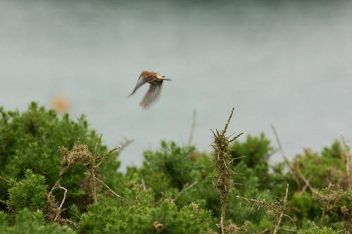 Linnet (Carduelis cannabina)