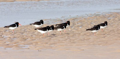Oystercatchers (2)