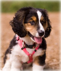 Puppy at the Park (kia's r kid) Tags: pink portrait cute face puppy washington raw dof july 100views wa 500views cuteness dogpark 2008 600views redmondwa marymoore 15faves mixbreed cherryontop 10faves 20faves 250views golddragon abigfave offleashdogpark theunforgettablepictures dodog butterybokeh mwilsonphotoblogd