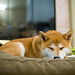 柴犬:Sleeping Kyoto