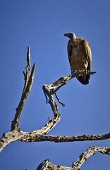 Africa-499 (DRImages) Tags: africa bird wildlife botswana vulture
