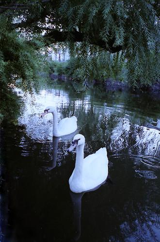 a brace of Swan