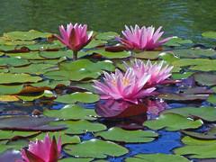 Lily Pond at Balboa Park