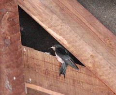 Late September & Late Swallow Chicks still needing feeding. (JB photographer) Tags: summer england bird nature barn speed kent babies feeding flight wing fast insects chick migratory swallow barnswallow visitor hirondelle swoop hirundorustica swallows vite girigiri migrant skimming newnham migrants rustica hirundo hirundine svala forkedtail summervisitor golodrina copyrightjonathanbarkerphotographer inkonjani nyankalema syndalevalley