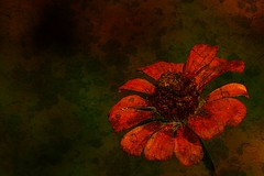 life's end - background - wallpaper - flower - zinnia ( David Gunter) Tags: life desktop old wallpaper orange flower color texture nature beautiful closeup catchycolors ancient rust background country rusty best aged zinnia picturesque textured jacksontn fineartphotos mywinners jacksontennessee textureadded davidgunter