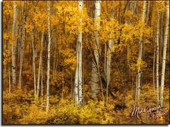 Golden Aspens (MikeJonesPhoto) Tags: wwwmikejonesphotocom smithsouthwestern mikejonesphoto landscape scenic nature professional photographer colorado co 7872 fall autumn aspens supershot