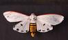 Aloa lactinea (Sachin Gurule) Tags: moth noctuidae arctiinae aloa arctiini indianmoth arctidae mothsofindia aloalactinea sachingurule mothsofmaharashtra