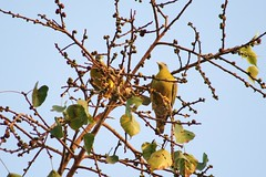 from a distance... yellow footed green pigeons (click-n-joy!) Tags: travel wedding portrait india bird fashion birds portraits canon studio children photography bride engagement artist photographer personal photos delhi birding creative photojournalism documentary marriage best event commercial portraiture catalog bridal occasion amritsar glamor avian swati agarwal faridabad birdsofindia commonbirds passionateaboutphotography swatiagarwalmishra justartfromtheheart birdsofnorthindia avianshots clicknjoy swatiagarwal swatimishra delhiandamritsar photosofnorthindia niftdropout ommyzmommy swatiagarwalphotography
