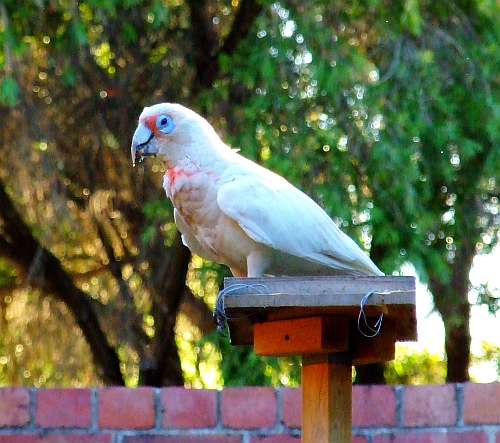 long billed corella parrot