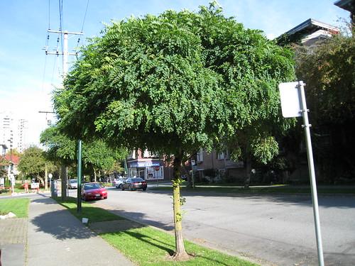 Robinia pseudoacacia 'Umbraculifera