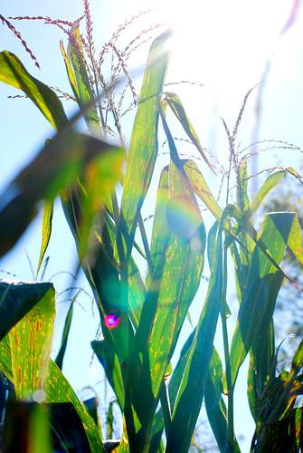 v corn maze 033