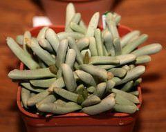 Psammophora longifolia
