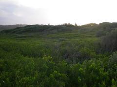 Highly vegetated dunes 2 (cobalt.penguin) Tags: beach dunes sydney peninsula avalon barranjoey
