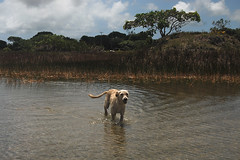 Brasil dog