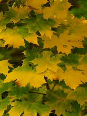Acer Leaves 2 (gripspix) Tags: autumn leaves acer