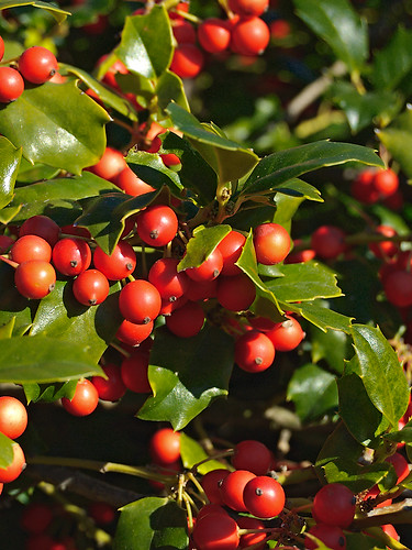 "Missouri Botanical (""Shaw's"") Garden, in Saint Louis, Missouri, USA - holly berries"