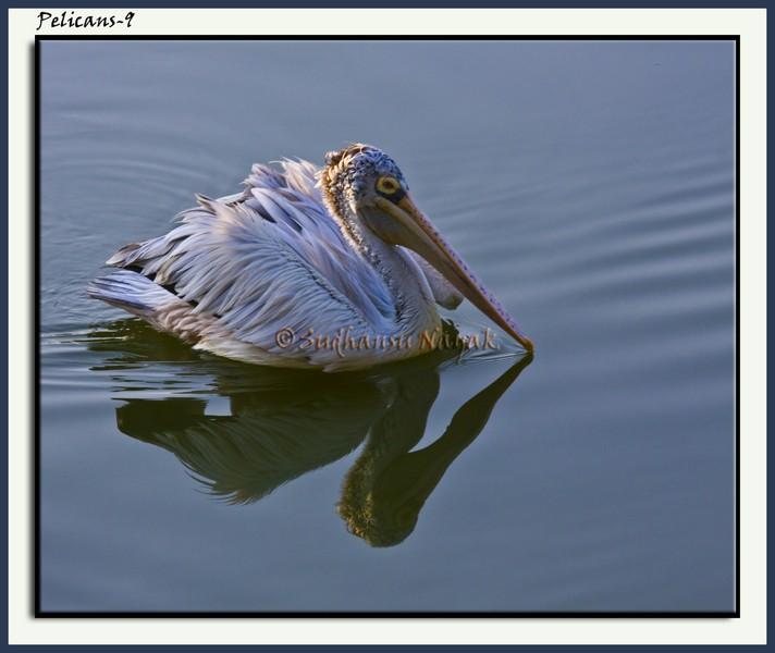 Pelicans-9