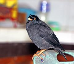 the hunter (xeno(x)) Tags: black macro green bird home nature kitchen canon chair asia martin 2008 xeno 40d avianexcellence