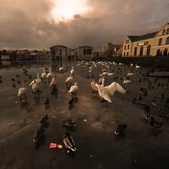 Canon 5d mark ll (johann Smari) Tags: birds reykjavk 500x500 artlibre superaplus aplusphoto dapagroupmeritaward theperfectphotographer dapagroupmeritaward1 dapagroupmeritaward2 winner500 canon5dmarkll