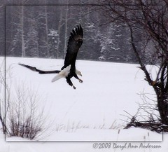 4894 Eagle coming in for the [Road] Kill (darylann) Tags: winter snow up scenery eagle snowy baldeagle northamerica upnorth winterlandscape wintery winterscene uppermichigan northernmichigan blueribbonwinner absolutemichigan dailyrayofhope darylannanderson darylannandersonphotography wwwdarylanncom