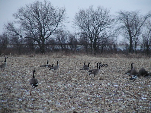 geese12-15-08