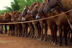 Forma do Retiro Santa Eva (Duarte de Castro Cunha Neto) Tags: horse burro cavalo tropa mule forma mula