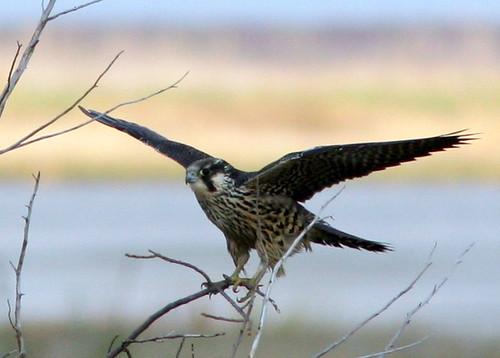 Peregrine Falcon at Brig 20091013