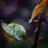 Rainy Day in the Rose Garden (Tanjica Perovic) Tags: macro green nature water leaves rain garden dark square photography leaf drops spring waterdrop rainyday bokeh may droplet raindrop roseleaves fotografija canoneos400d sigma1770mmf2845dcmacro фотографија тањицаперовић tanjicaperovicphotography