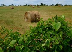 Hay Field (davidwilliamreed) Tags: county field rural fence georgia dof vine covered hay morgan haybales